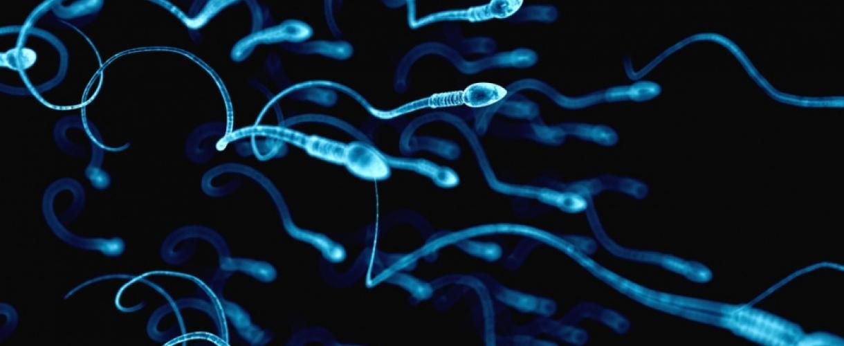 В течении которого времени созревает мужская сперма